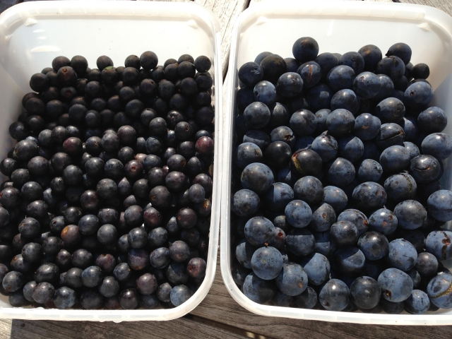 Sloes on the left, bullace on the right (I think).